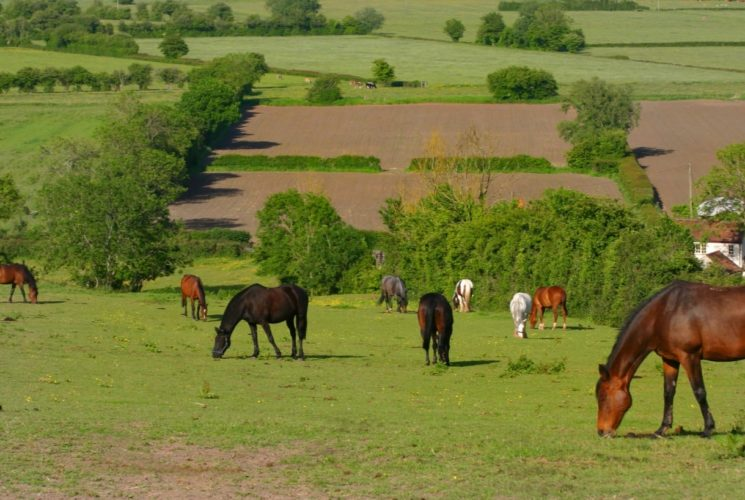 Field of horses grazing on green grass