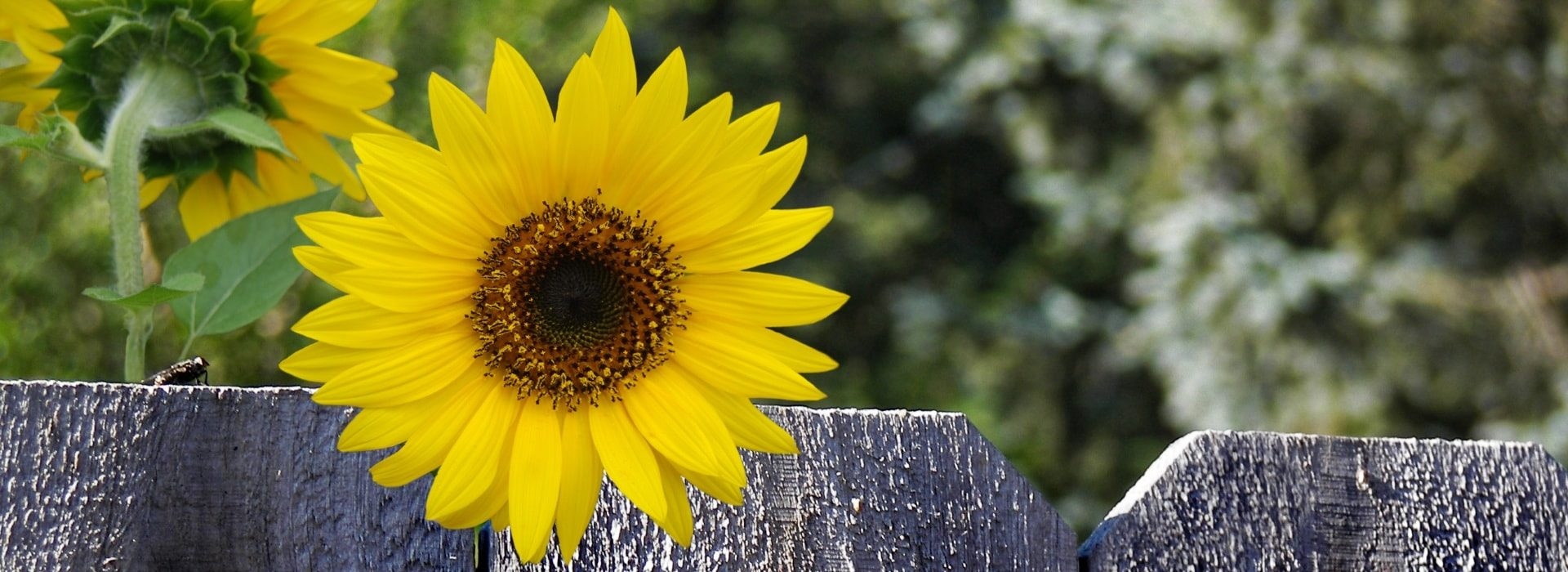 Close up view of large yellow sunflower peeking over fence