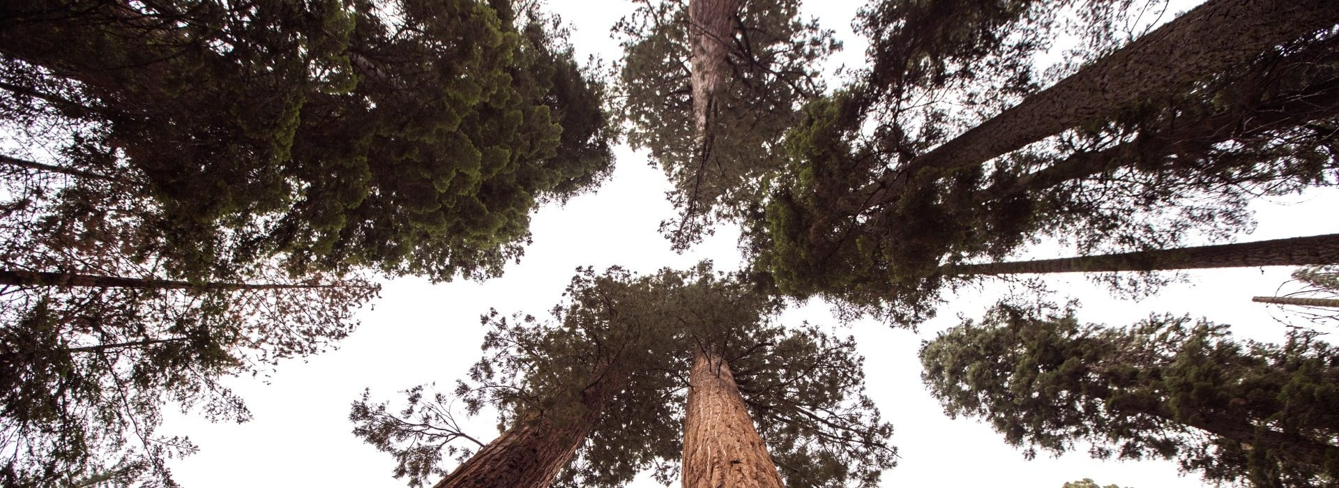 View of large trees from the ground looking up to the sky